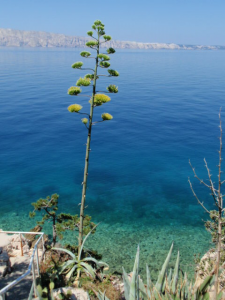 agava-klada