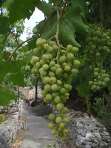 vine-grapes-klada